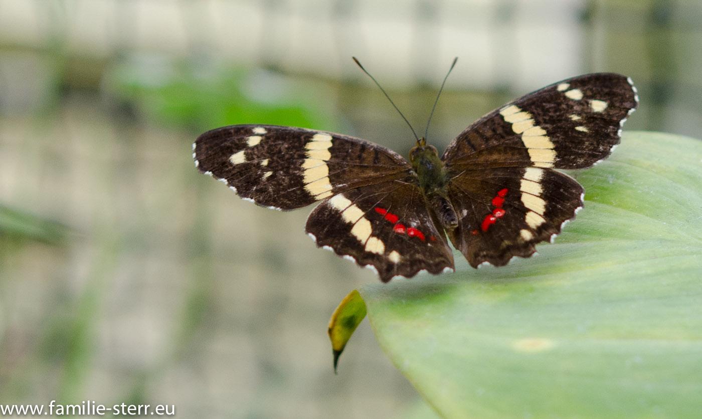 Schmetterlingsausstellung im Botanischen Garten München / Feb 2013 | Familie Sterr