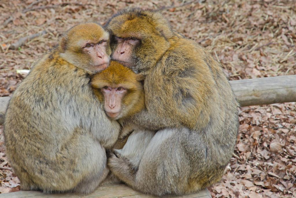 kuschelnde Berberaffen auf dem Affenberg Salem