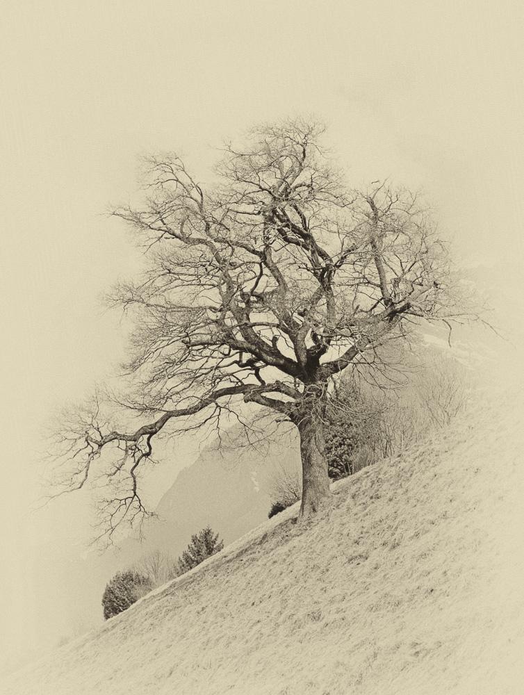 Baum am Abhang / Graubünden