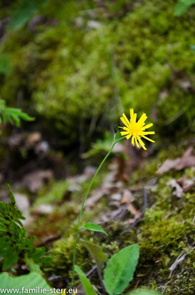 Blüte an der Grevenburg bei Traben-Trarbach