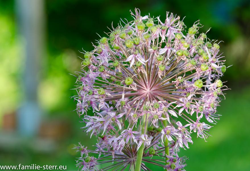 Fokus Stacking / Blüte im Garten