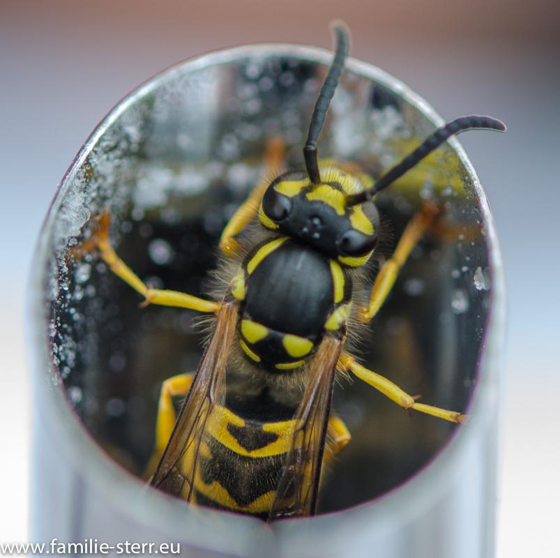 Wespe im Zuckerspender