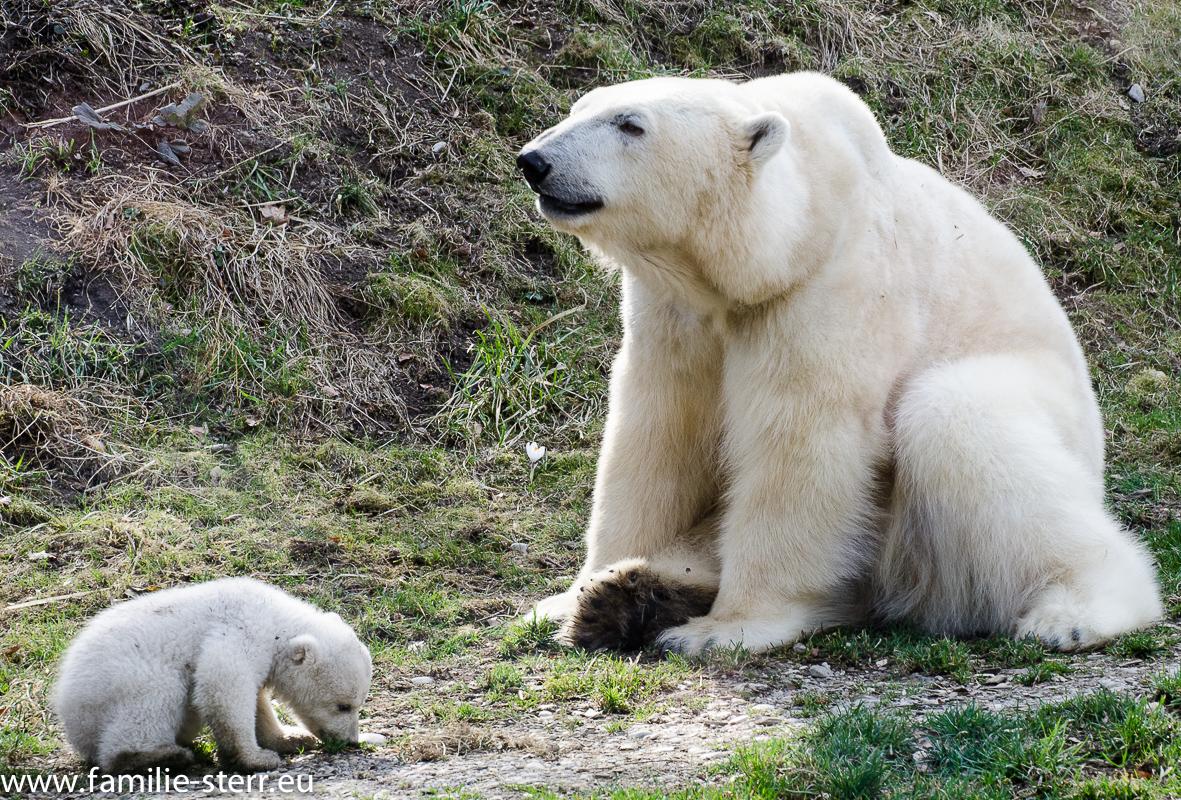 Eisbärmutter und Eisbärbaby im Tierpark Hellabrunn