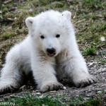 Eisbärbabys im Tierpark Hellabrunn