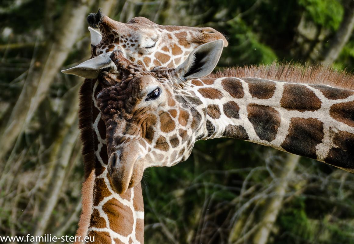 Giraffe im Tierpark Hellabrunn