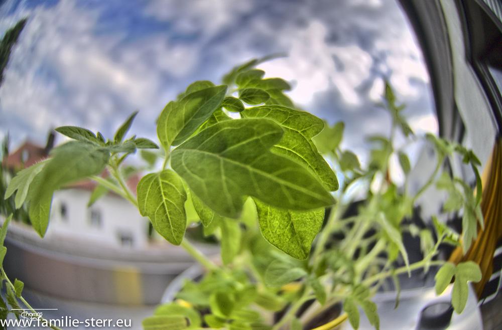 Katharinas Tomatenpflanzen