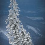schneebedeckte Tanne an der Kampenwand - Bergstation