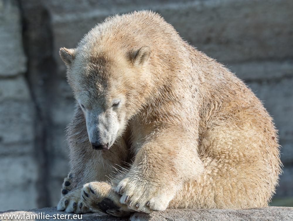 junge Eisbären im Tierpark Hellabrunn