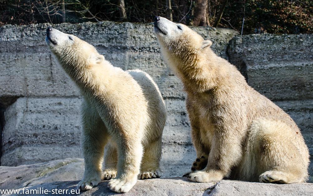 Eisbär - Nachwuchs im Tierpark Hellabrunn