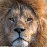 Nachwuchs - Löwe im Tierpark Hellabrunn