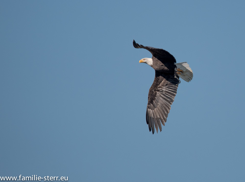 Weißkopf - Seeadler bei der Greifvogelschau im Wildpark Poing