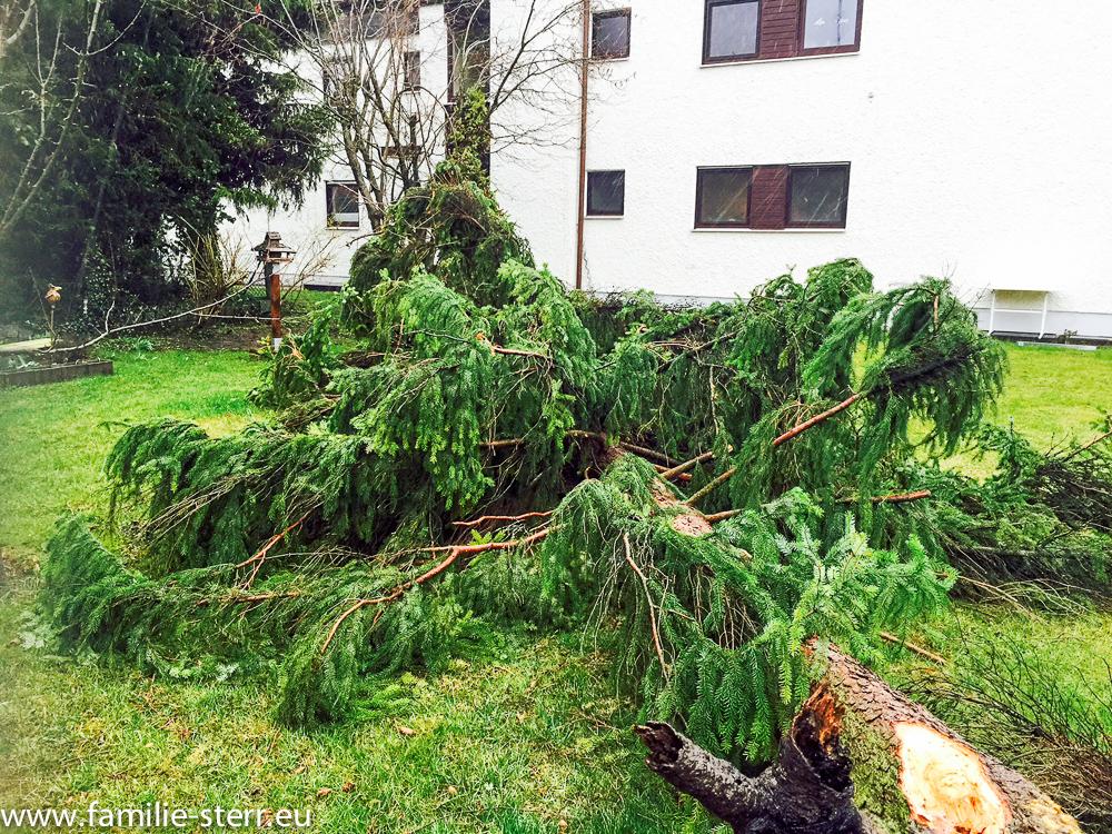 vom Sturm Niklas gefällter Baum im Garten