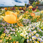 gelbe Tulpe in einem Frühlingsbeet auf der Insel Mainau