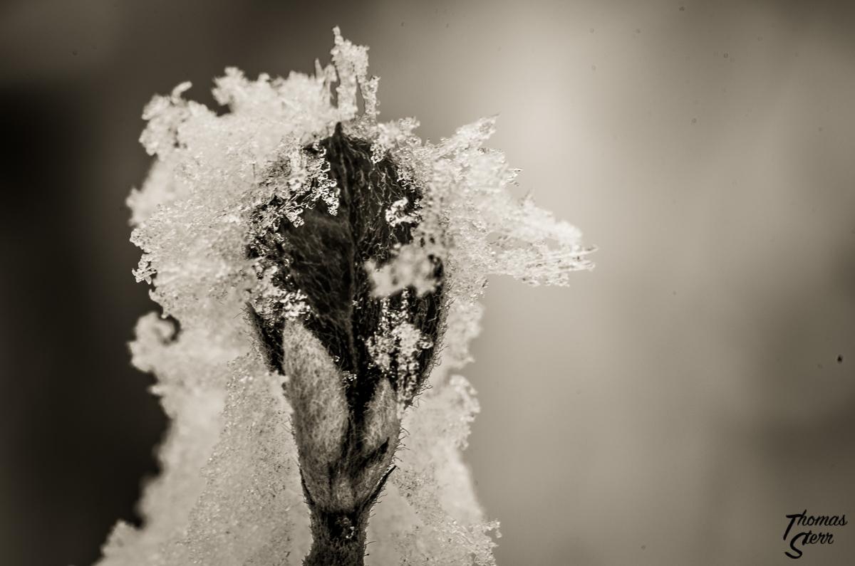 Knospe im Schnee