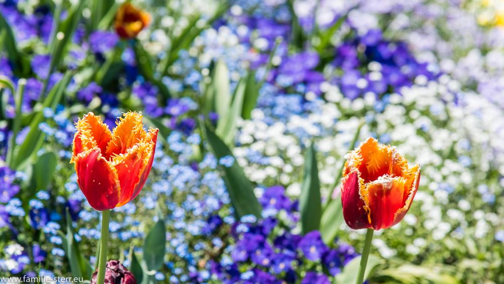 rot-gelbe Tulpen / Blumeninsel Mainau