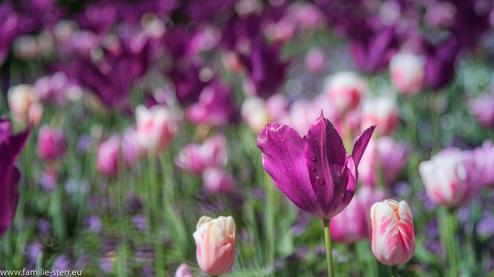 Lila Tulpe / Blumeninsel Mainau