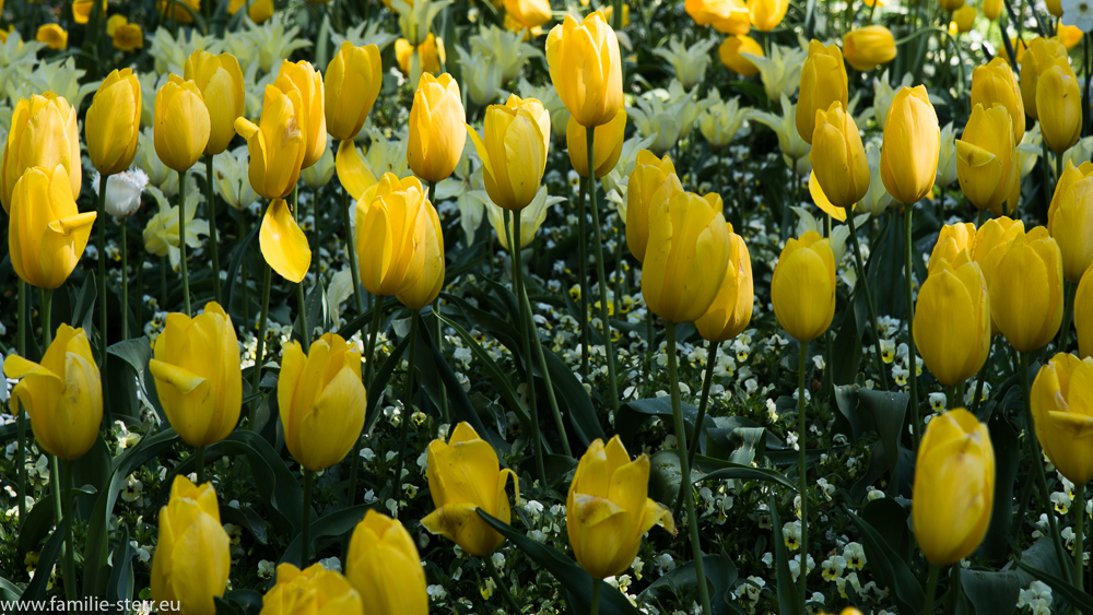 gelbe Tulpen / Blumeninsel Mainau