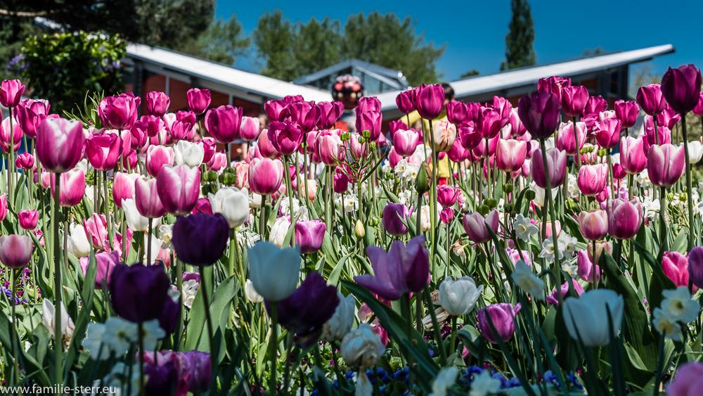 Tulpenwiese vor dem Schmetterlingshaus / Blumeninsel Mainau
