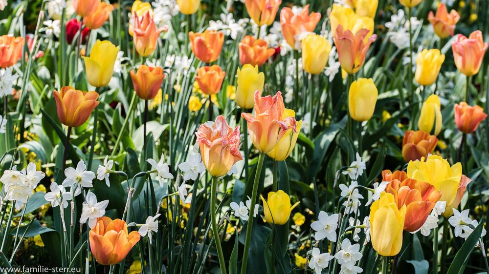 Tulpenwiese / Blumeninsel Mainau