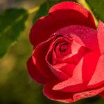 geschlossene Blüte einer Herbstrose benetzt mit Morgentau