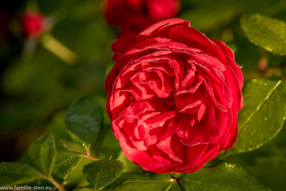 Tautropfen auf einer blühenden Rose
