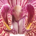 Nahaufnahme einer roten Orchidee