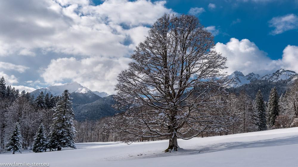 großer Baum im Schlosspark von Schloss Linderhof im tiefen Winter