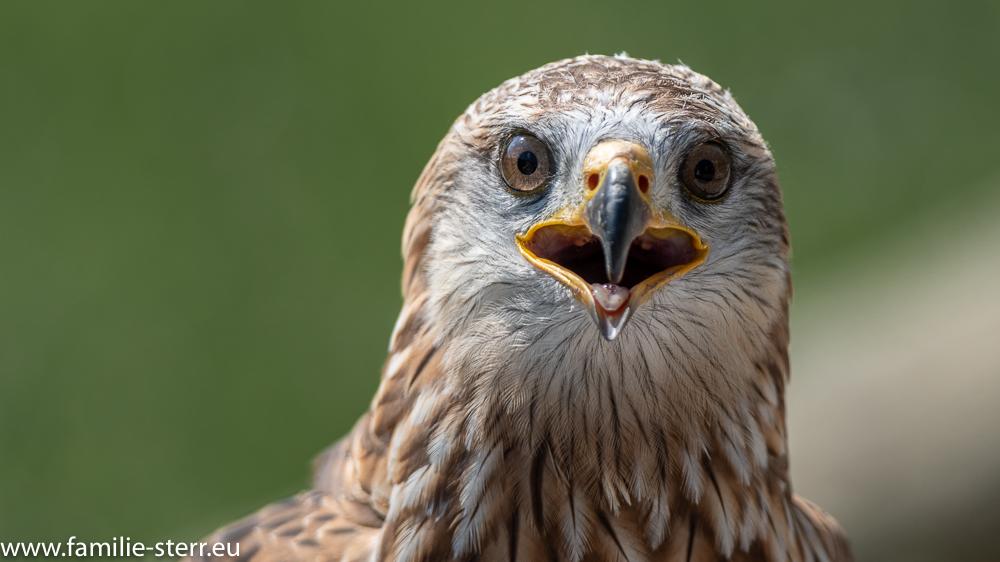 Greifvogel in der Falknerei Hohenaschau