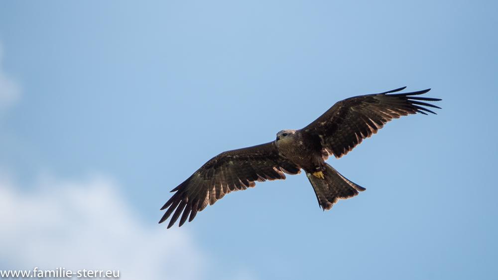 Greifvogel kreist über der Falknerei Hohenaschau