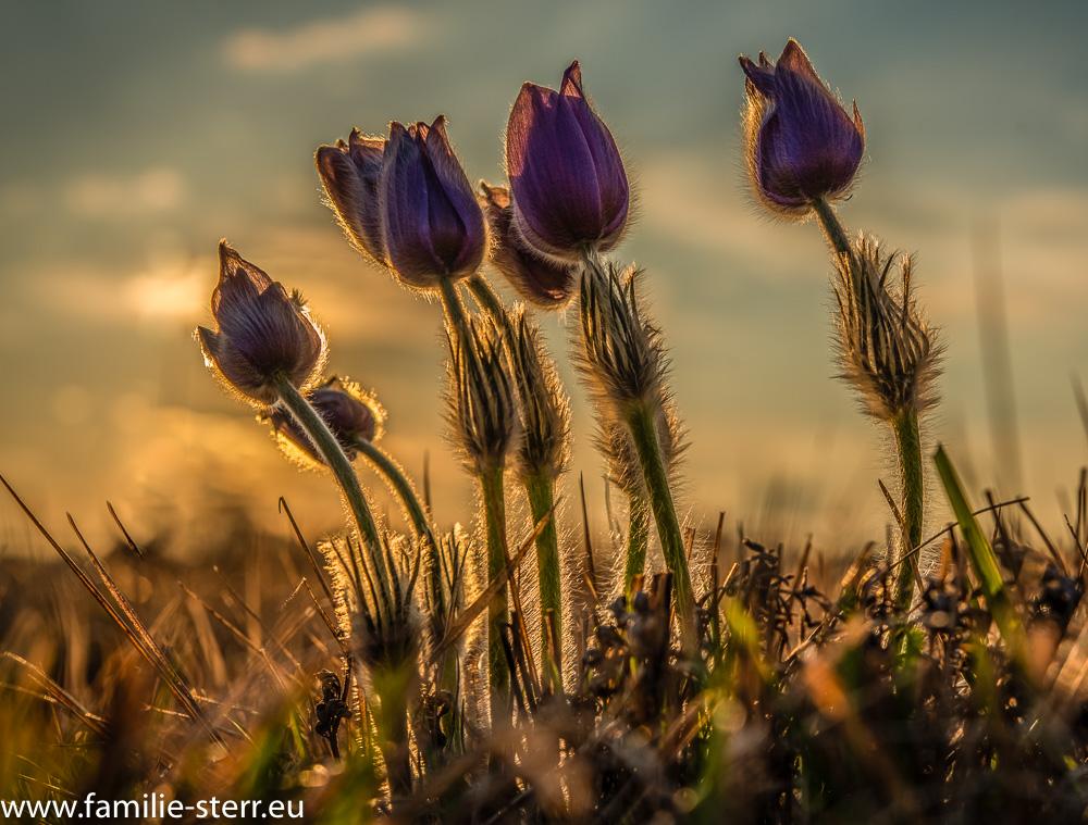 Wind Gruppen von Finger - Kuhschellen bei Sonnenuntergang in der Garchinger Heide