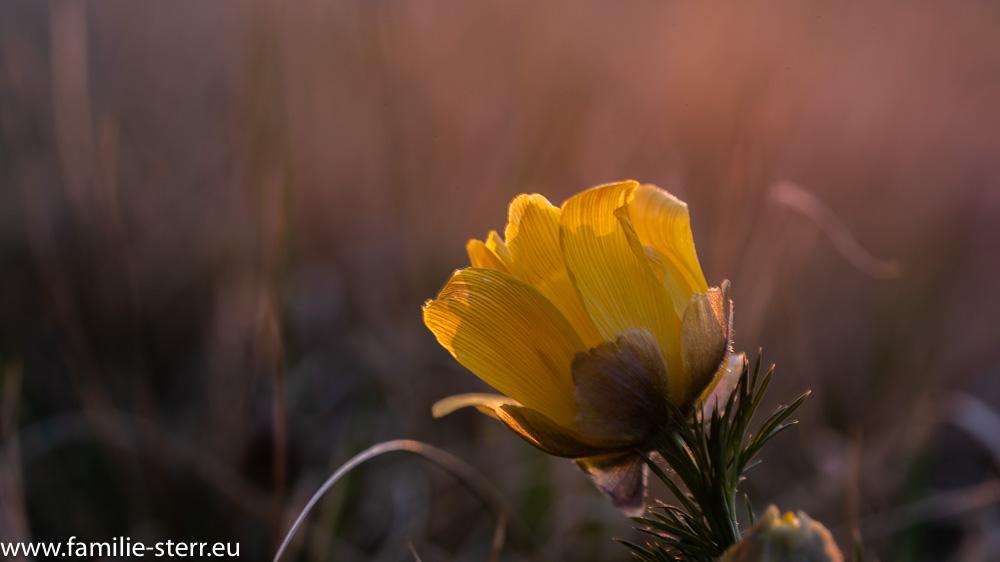 schöne gelbe Blüte im Sonnenuntergang