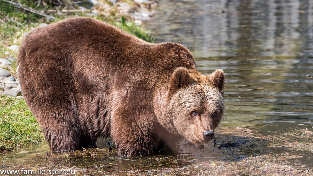 Olga - Braunbärendame aus dem Tierpark Hellabrunn