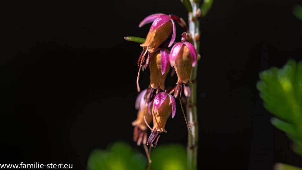 Blüten am Orchideenerlebnisweg Vorderkaser