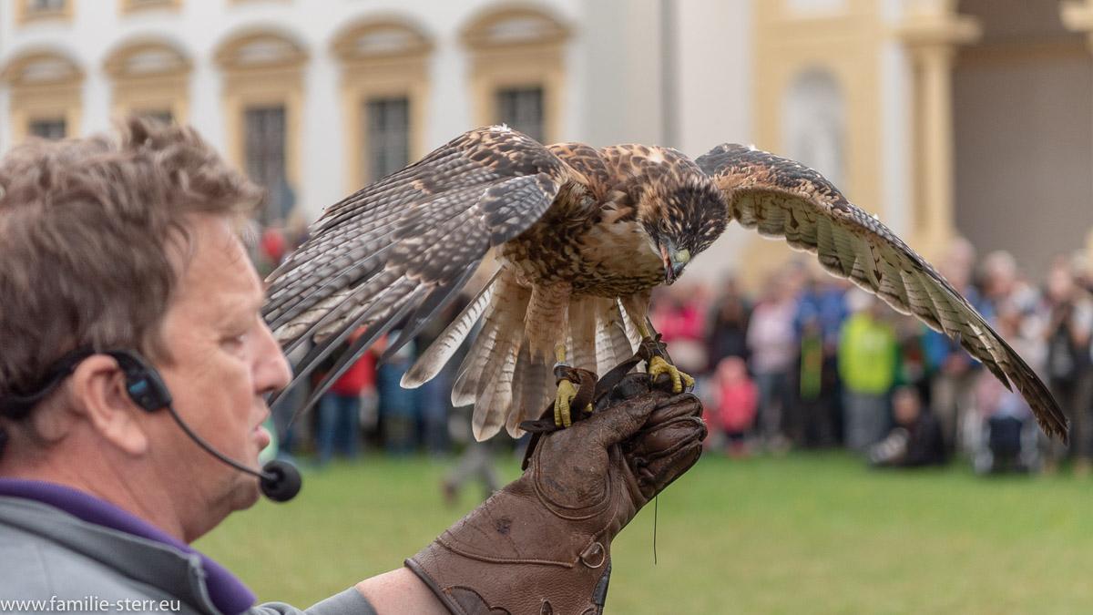 Falke bei der Greifvogelschau im Schlosspark Oberschleißheim