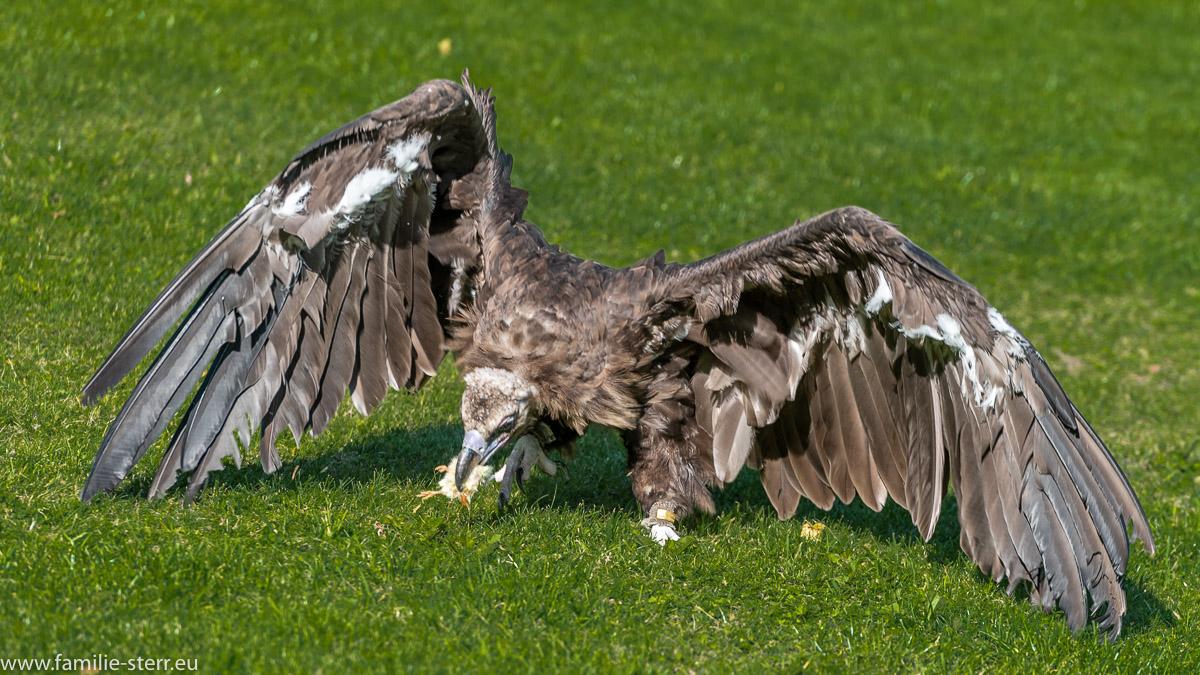Geier bei der Greifvogelschau auf der Erlebnisburg Hohenwerfen