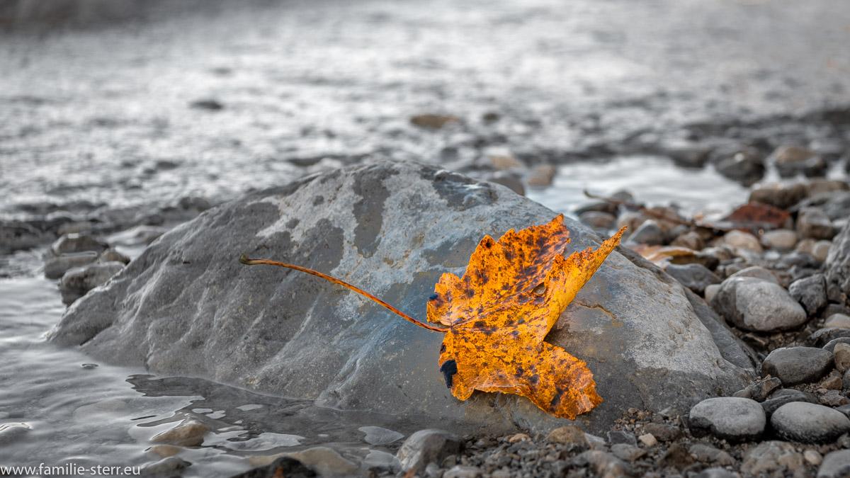 spätherbstlich gefärbtes Ahornblatt auf einem Stein im Walchensee