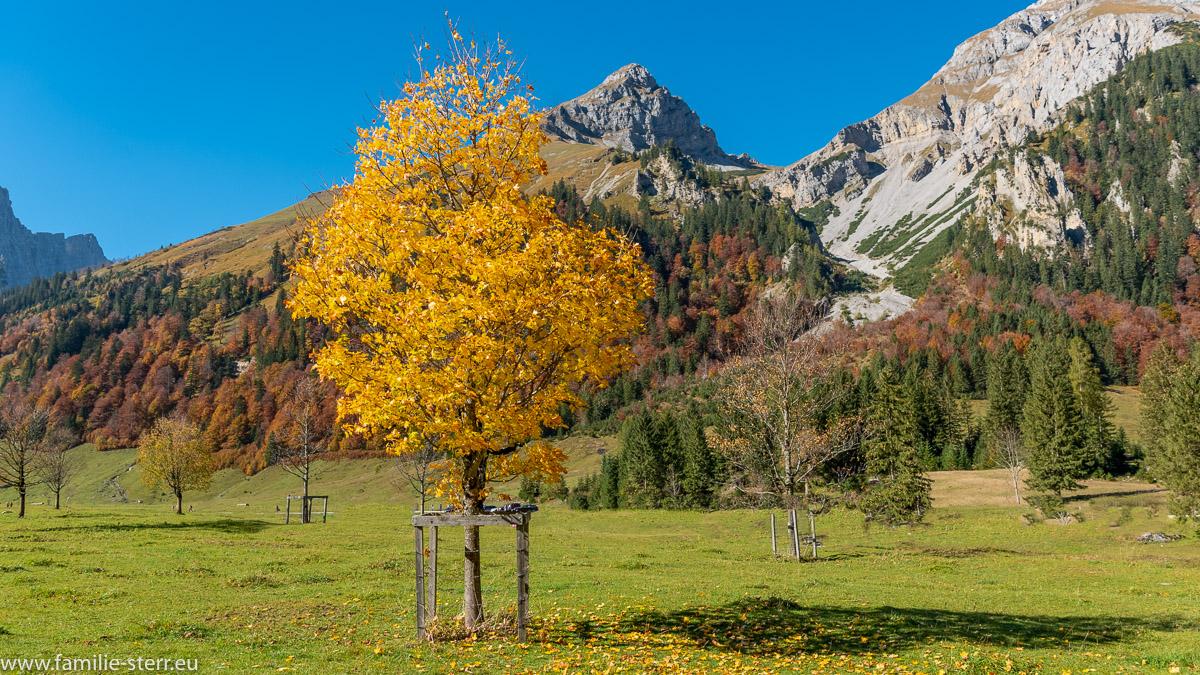 Ahornbaum mit gelben Blättern an einem Spätherbsttag im Großen Ahornboden