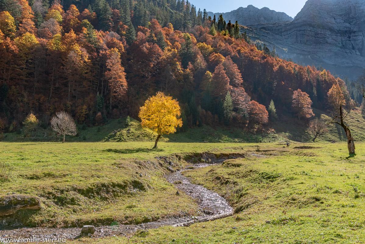 herbstlich-gelb gefärbter Ahornbaum über einem kleinen Bach im Großen Ahornboden