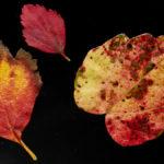 farbenfrohe Herbstblätter