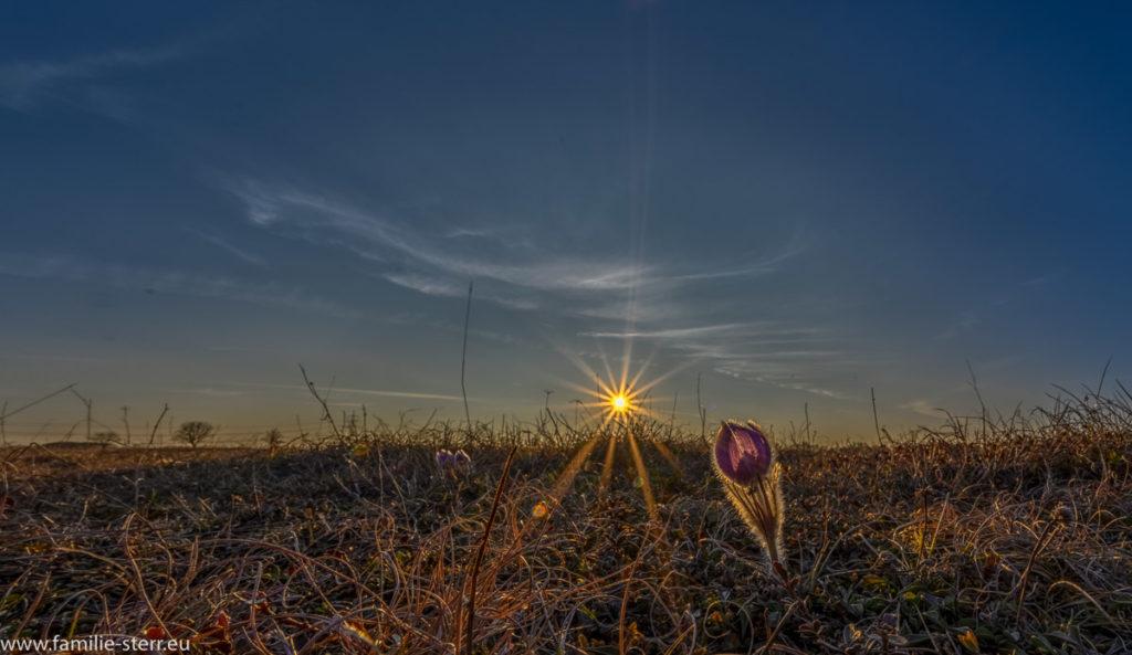 eine Kuhschelle im Sonnenuntergang in der Garchinger Heide im Norden Münchens