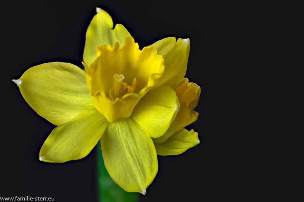 Blüte einer gelben Narzisse vor schwarzem Hintergrund
