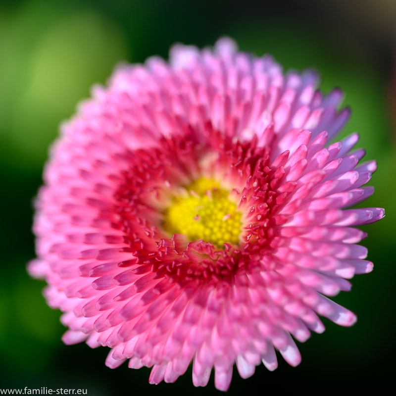 Tausendschön - Blüte in verschiedenen rosa - Tönen