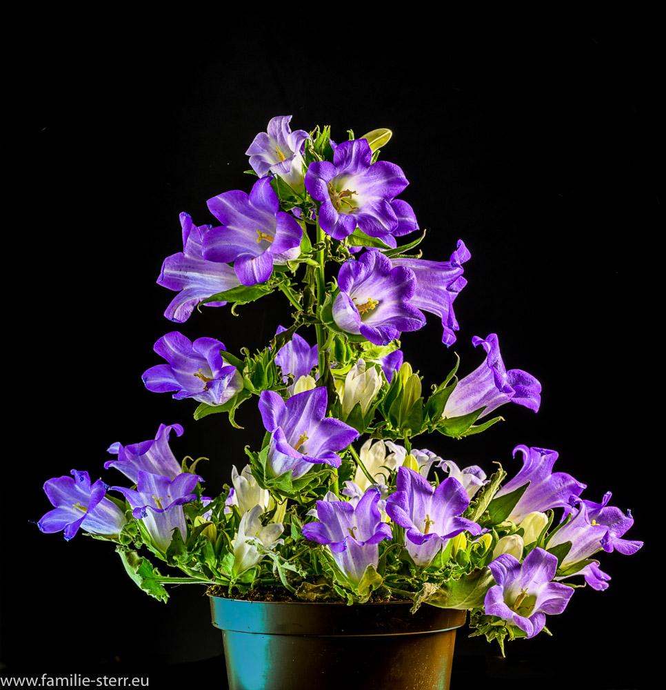 Campanula Blue - Glockenblume