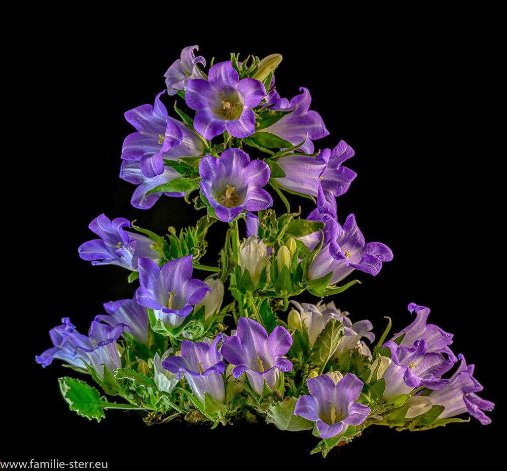 Campanula Blue - Glockenblume vor schwarzem Hintergrund