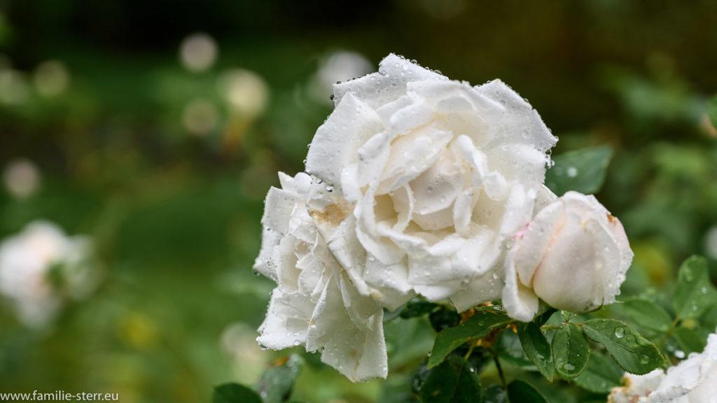 Blüte einer weißen Rose mit Regentropfen auf der Insel Mainau