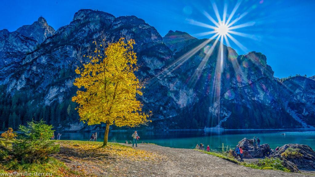 Baum mit gelben Blättern im strahlenden Sonnenschein am Pragser Wildsee in den Südtiroler Dolomiten