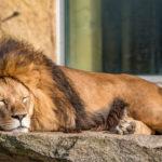 Löwe liegt müde in der Sonne im Tierpark Hellarbrunn in München