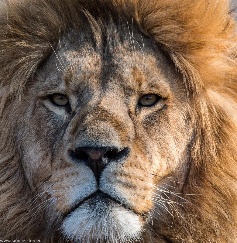 Kopf eines Löwen im Tierpark Hellabrunn als Großaufnahme