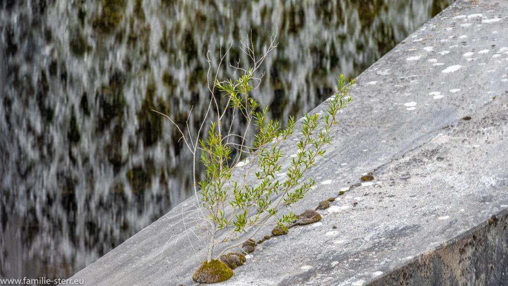 filigrane Pflanze auf einem massiven Betonwehr am Uppenbornwerk ab der Mittleren Isar