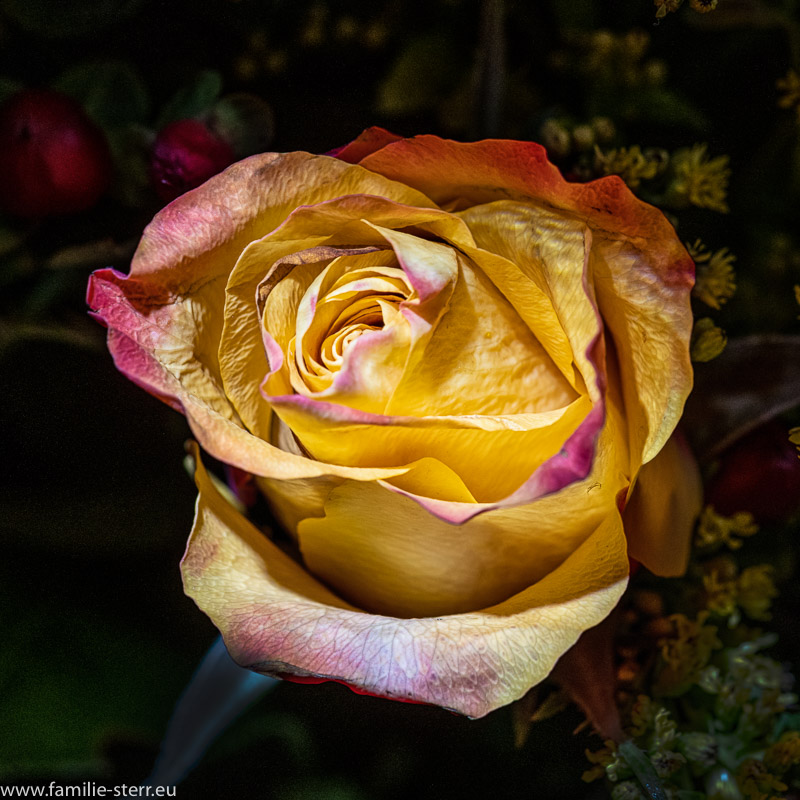 eine gelbe Rose aus einem Blumenstrauss